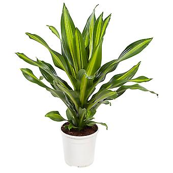 Indoor tree from Botanicly – Dragon tree – Height: 105 cm – Dracaena 'Burley'