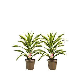 Indoor trees from Botanicly – 2 × Dragon tree – Height: 70 cm – Dracaena dermensis Lemon Lime