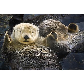 Fångenskap två hav utter håller tassar på Vancouver Aquarium i Vancouver British Columbia Kanada fångenskap PosterPrint