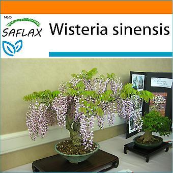 Saflax - tuin in de zak - 4 zaden - Bonsai - blauwe Chinese blauweregen - Glycine de Chine - Glicine - Glicinia - B - Blauregen