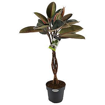 Gummiträd ↕ 60 till 100 cm tillgängligt med planter | Ficus Elastica Bourgogne Bushy