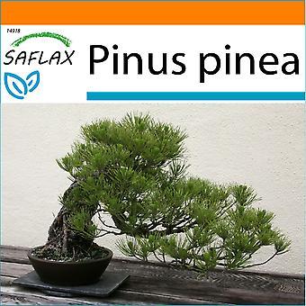 Saflax - Puutarha Bag - 6 siemenet - Bonsai - kivi Pine - Pin parasol - Pino marittimo - Pinos piñoneros - B - Mittelmeer-Pinie