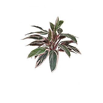 Artificial Silk Caladium Bush FR