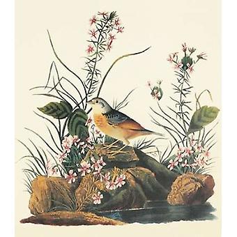 Geel-Winged Sparrow Poster Print by John James Audubon
