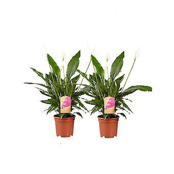 Indoor Kasvit Botanicly – 2 × Rauhan lilja – Korkeus: 70 cm – Spathiphyllum Vivaldi