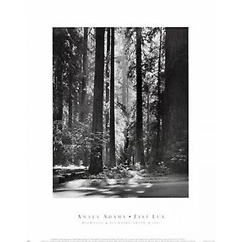 Redwoods Founders Grove plakat Print af Ansel Adams (11 x 14)