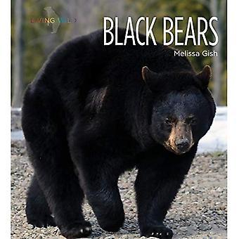Svartbjörnar (levande vild)
