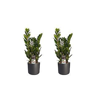 Plantas Interiores – 2 × Joia Zanzibar em vaso de plantas cilíndricas antracópicas como conjunto – Altura: 45 cm