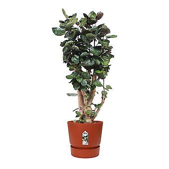 Polyscias scutellaria Fabian - Aralia - in Elho® Greenville pot brown - Height 100 cm - Diameter pot 30 cm