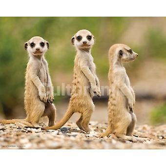 Namibia Meerkat Pups affisch affisch Skriv