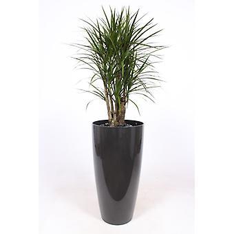 Roślina wewnętrzna – Smocze drzewo w szarej doniczce w zestawie – Wysokość: 160 cm