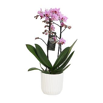 BOTANICLY Phalaenopsis Santiago - Butterfly orchid