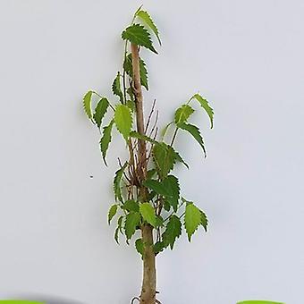 Celtis australis (European nettle tree) - Plant
