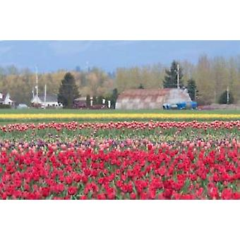 Red Tulip Farm Poster Print by Dana Styber