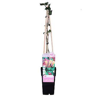 Plante grimpante de Botanicly – Lonicera heckrottii Goldflame – Hauteur: 65 cm