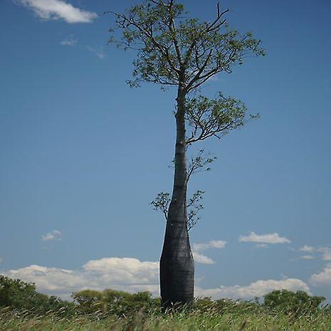 Brachychiton rupestris (fles boom)-plant