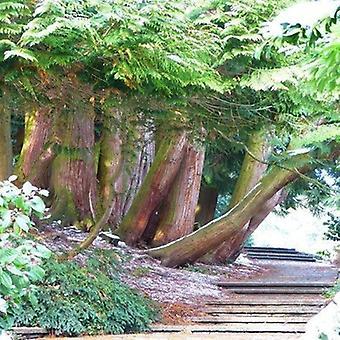 Tetraclinis articulata (Sictus tree/Thuja articulata) - Plant