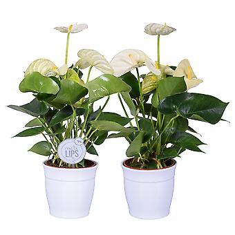 MoreLIPS® - 2 Flamingoplanten wit - luchtzuiverende kamerplanten hoogte 35-45 cm - Anthurium andreanum