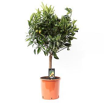 Pianta da frutta da Botanicly – Mandarino – Altezza: 75 cm – Citrus Mandarin