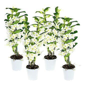 Dendrobium Nobile Apollon - komplet 4 sztuk - Wysokość 60 cm - Garnek średnicy 12 cm