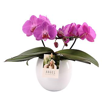 """Your Natural Orchid - Sustainable Phalaenopsis Orchid """"Angel lilac"""" in Lisa ceramic pot - height 25-35 cm"""