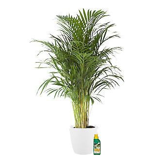 Indoor Plant – Golden cane palm in white plant pot + 250 ml of fertilizer as a set – Height: 125 cm