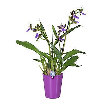 MoreLIPS® - Orkidea- Zygopetalum 2 haara violetti keramiikka - korkeus 45-55 cm - potin halkaisija: 14 cm