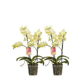 Orchids – 2 × Butterfly orchid yellow – Height: 50 cm, 2 stems, white flowers