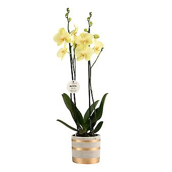 """Your Natural Orchid - Sustainable Phalaenopsis Orchid """"Yellow"""" with Gold Stripes ceramic pot - height 55-65 cm"""