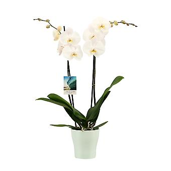 Your Natural Orchid - Phalaenopsis Orchid White Pink in Travelvibes Ceramic Quality Butterfly Orchid