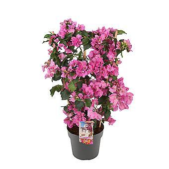 Bougainvillea 'Sanderiana' Jolanda op rek roze