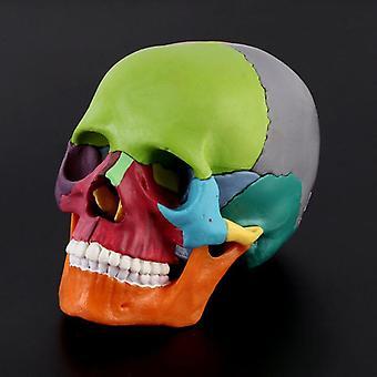 Disassembled Color Skull Anatomical Model