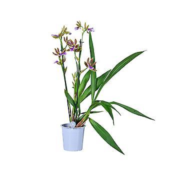 MoreLIPS® - Orchid - Zygopetalum 'Sensation' - 2 tak - in kweekpot - hoogte 45-55 cm