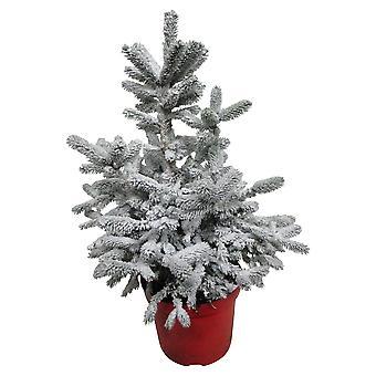 Haies et arbustes de Botanicly – épinette naine – Hauteur: 60 cm – Picea glauca Conica