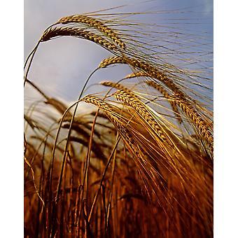 Barley Co Meath Ireland PosterPrint