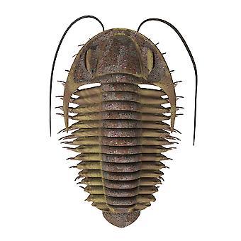 Ptychoparia 三葉虫コーリー FordStocktrek 画像によるポスター印刷