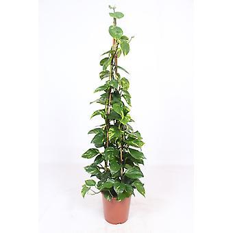 Pianta d'appartamento da Botanicly – Potus – Altezza: 160 cm – Epipremnum pinatum Aureum