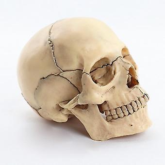 Skull Anatomical Model Anatomy Skeleton Skull Model