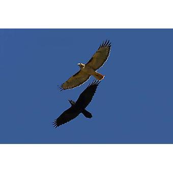 Falco rosso - munito e corvo comune stampa del manifesto del Nord America di volo da San Diego Zoo