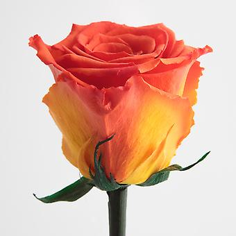 Preserved rose orange with stem durable 3 years 45-50 cm