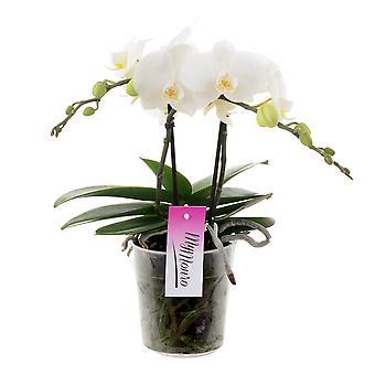 Orchidee van Botanicly – Vlinder orchidee – Hoogte: 45 cm, 2 takken – Phalaenopsis Mymonro Blondy