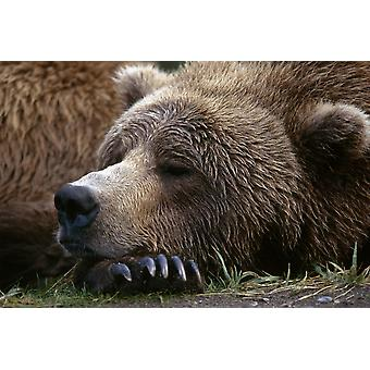 Brown Bear Resting Katmai Natl Park Southwest Alaska Summer Portrait PosterPrint