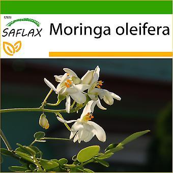 Saflax - 10 semillas - con suelo - rábano - Moringa - Albero del rafano - Moringa - Moringa