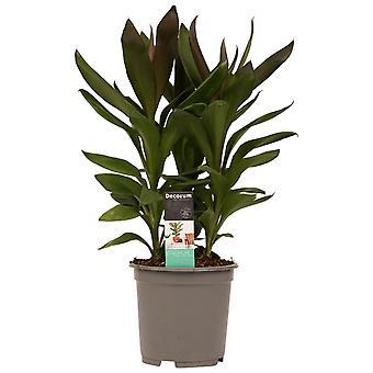 Kamerplant van Botanicly – Cordyline Fruticosa Glauca – Hoogte: 60 cm