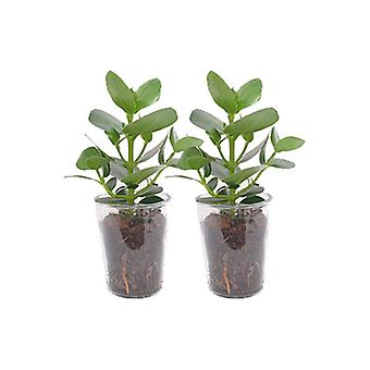 Kamerplant van Botanicly – Varkensboom incl. designe glas als set – Hoogte: 38 cm – Clusia Princess