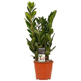 Planta de interior de Botanicly – Zamioculca – Altura: 45 cm – Zamioculcas zamiifolia