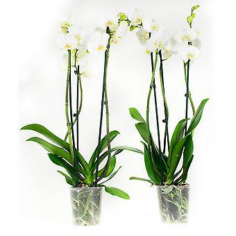 Orquídeas – 2 × Borboleta orquídea branca – Altura: 60 cm, 3 hastes, flores brancas