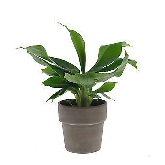 Plante d'intérieur – Bananier en pot terre cuite grise comme un ensemble – Hauteur: 35 cm