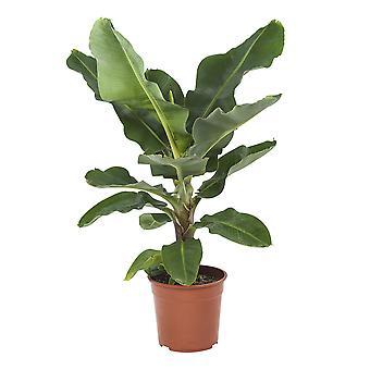 Musa - Roślina bananowa - Wysokość 80 cm - Garnek średnicy 27 cm