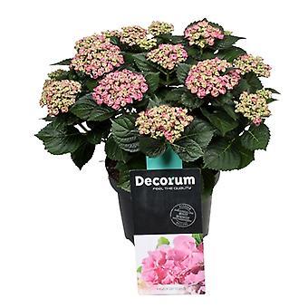 Blume von Botanicly – Hortensie – Höhe: 40 cm – Hydrangea